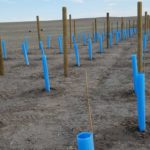 newly planted grapes in grow tubes