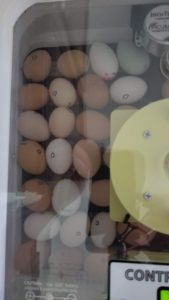 Second batch of chicken eggs in new incubator
