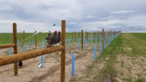 Chickens sitting on vineyard brace posts out at our farm