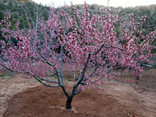 Reliance peach tree blossoming. Reliance is one of the few Peaches you can grow in Wyoming .