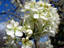 Superior plum is a cold hardy variety for Wyoming.
