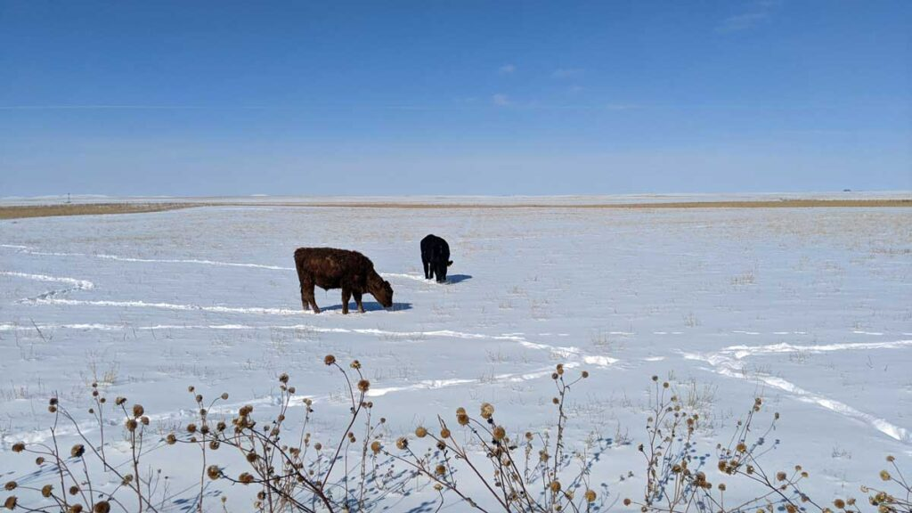 Beef steers out on winter pasture